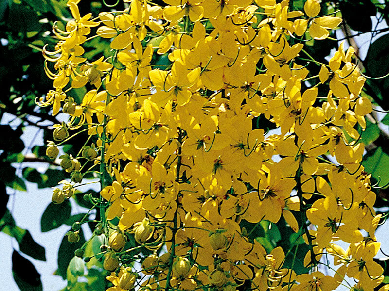 Cassia Fistula (golden rain tree)